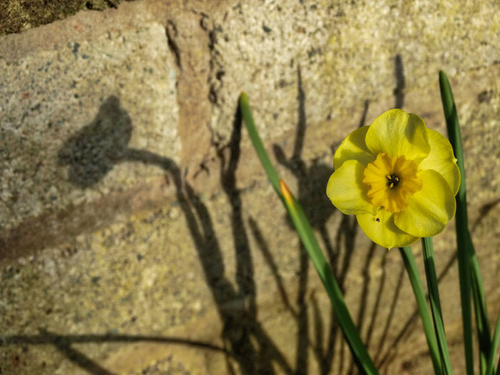 Pretty yellow flower and shadow. Flowering Plant Flower Yellow Plant Vulnerability  Fragility Beauty In Nature Growth Nature Freshness Inflorescence Flower Head Close-up Petal No People Wall - Building Feature Day Shadow Focus On Foreground Outdoors Springtime Flowers Plant Plants Plants And Flowers Pretty