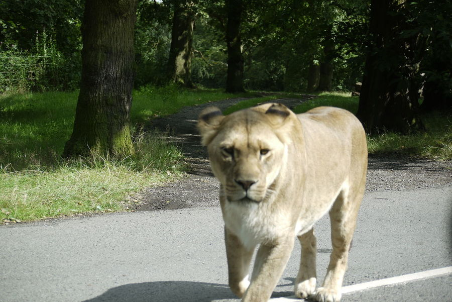 Animal Wildlife Day Lioness Lions Nature No People Outdoors Safari Park