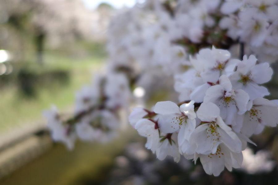 Cherry Blossoms Sakura Spring