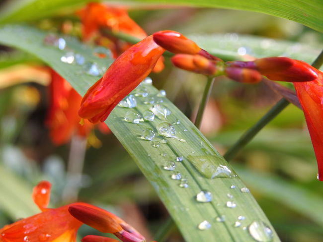 Red Nature No People Close-up Plant Flower Day Outdoors Beauty In Nature Water Leaf Freshness Orange Color Flower Orange Gotas De Lluvia Gotas 💦🌂 Gotas De Agua Gotasdelluvia Gotas En Las Hojas Gotasdeagua Flower Water Water Flowers Flower Collection Flowers,Plants & Garden Flowers, Nature And Beauty