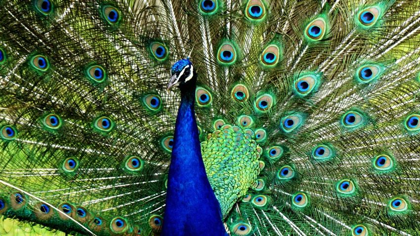 Peacock Peacock Feather Fanned Out Feather  Bird One Animal Animal Themes Animal Wildlife Animals In The Wild Blue Green Color Multi Colored Beauty In Nature Outdoors Close-up Nature Day Full Frame No People Giveskud Denmark 🇩🇰🇩🇰🇩🇰