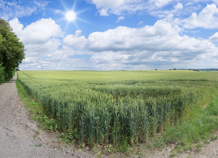 At the corner of a wheat field with side path in summer with sunshine Cereal Edge Field Path Plant Rural Wheat Wheat Field Agricuture Corner Cornfield Countryside Crop  Cultivated Farming Field Edge Grain Grain Field Horizon Landscape Large Summer Sun Track Width