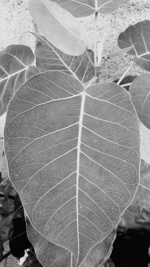 Bodhi tree and leaf close up Bodhi Tree Bodhi Leaf Close Up Plant Bodhi  Blackandwhite Black And White Leaf Textured  Pattern Abstract Full Frame Close-up Natural Pattern Plant Life Growing Young Plant