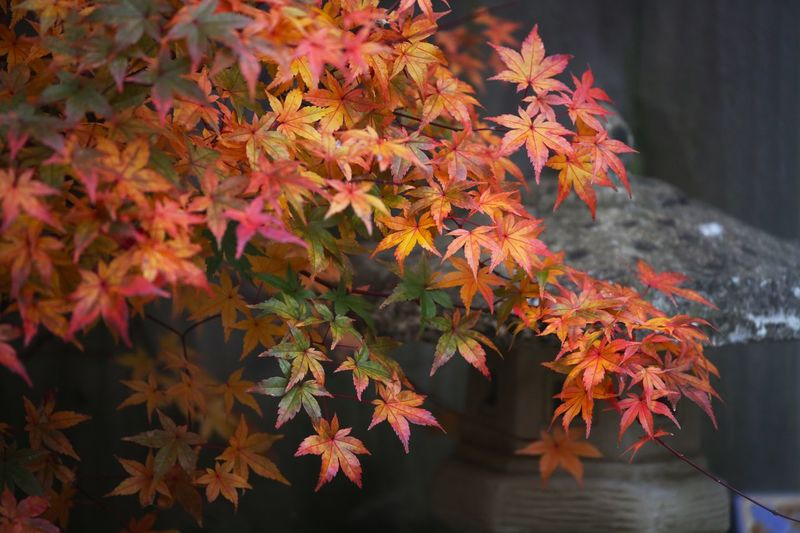 Before it fell... Autumn Leaf Plant Part Change Orange Color Maple Leaf Nature Beauty In Nature Plant Day Maple Tree No People Close-up Branch Outdoors Leaves Focus On Foreground Tree Vulnerability  Fragility