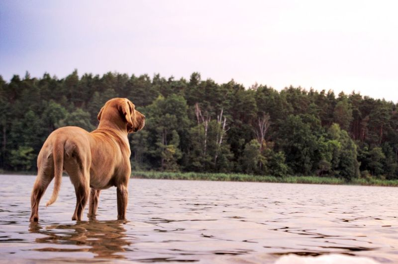 Dog Standing In Lake Against Clear Sky