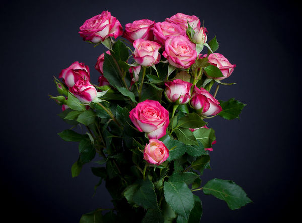 Roses in front of a black background Beauty In Nature Black Background Blooming Close-up Day Flower Flower Head Fragility Freshness Growth Leaf Nature No People Petal Pink Color Plant Rose - Flower Studio Shot EyeEmNewHere