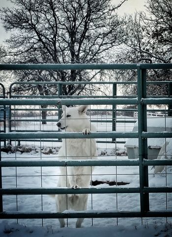 German Shepherds love the snow. Domestic Animals Beauty In Nature Pets No People On Guard Duty White German Shepherd Love Snow EyeEm Gallery Pet