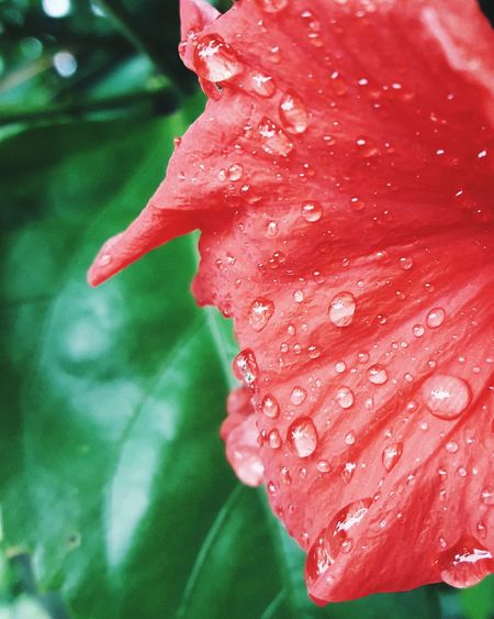 Petal Flower Red Drop Fragility Nature Flower Head Water Beauty In Nature Freshness Wet Plant Leaf