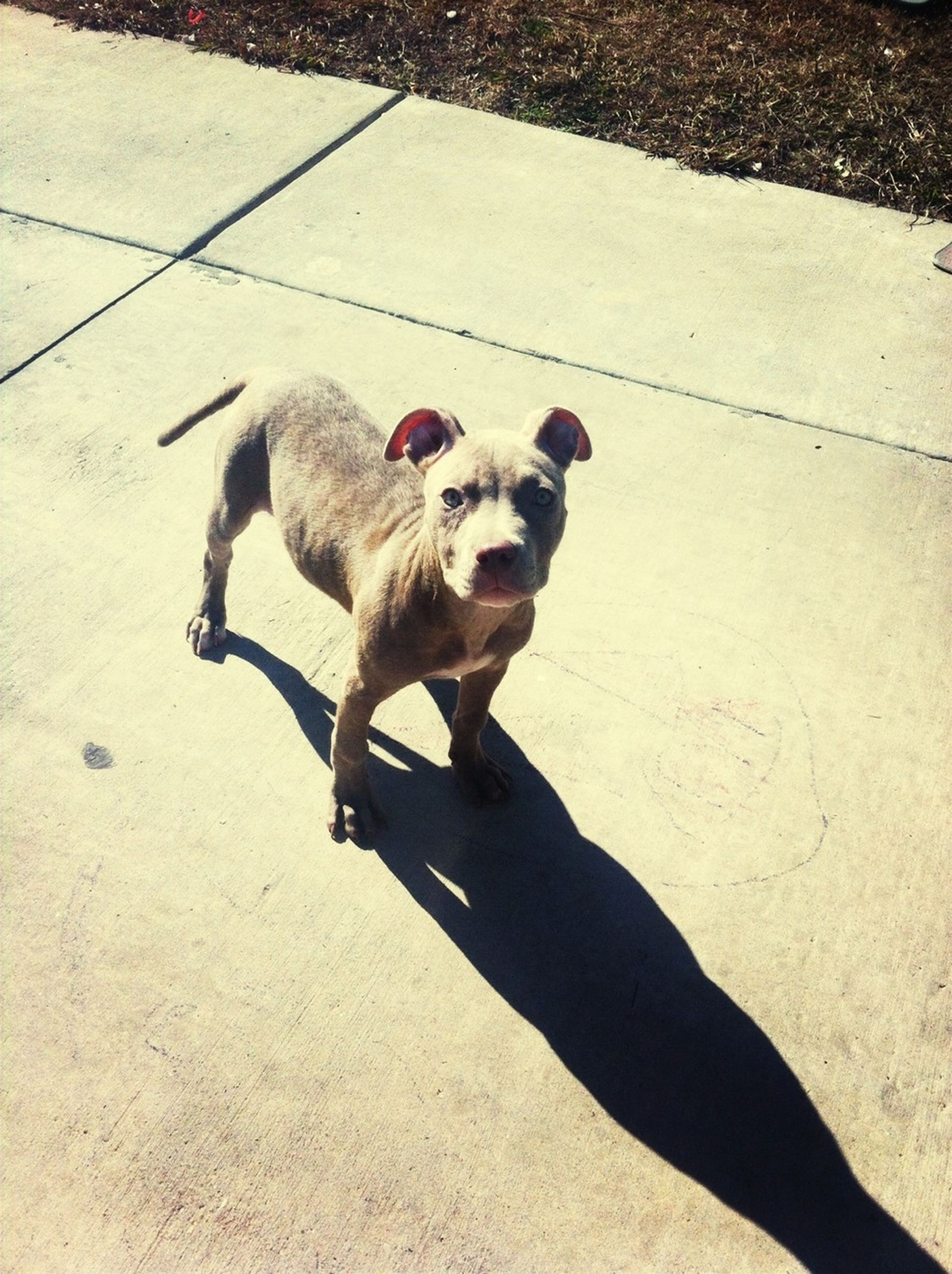 domestic animals, pets, animal themes, mammal, one animal, dog, full length, portrait, looking at camera, standing, pet collar, pet leash, high angle view, street, shadow, sunlight, zoology, animal, outdoors, sitting