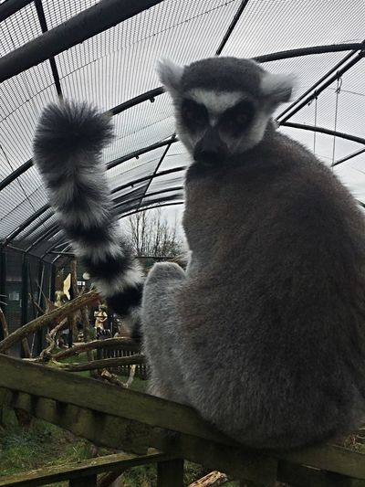 Ring Tailed Lemur Who Do You Think You're Looking At Beauty In Nature Mammal One Animal No People Animal Themes Animal Wildlife Looking At Camera