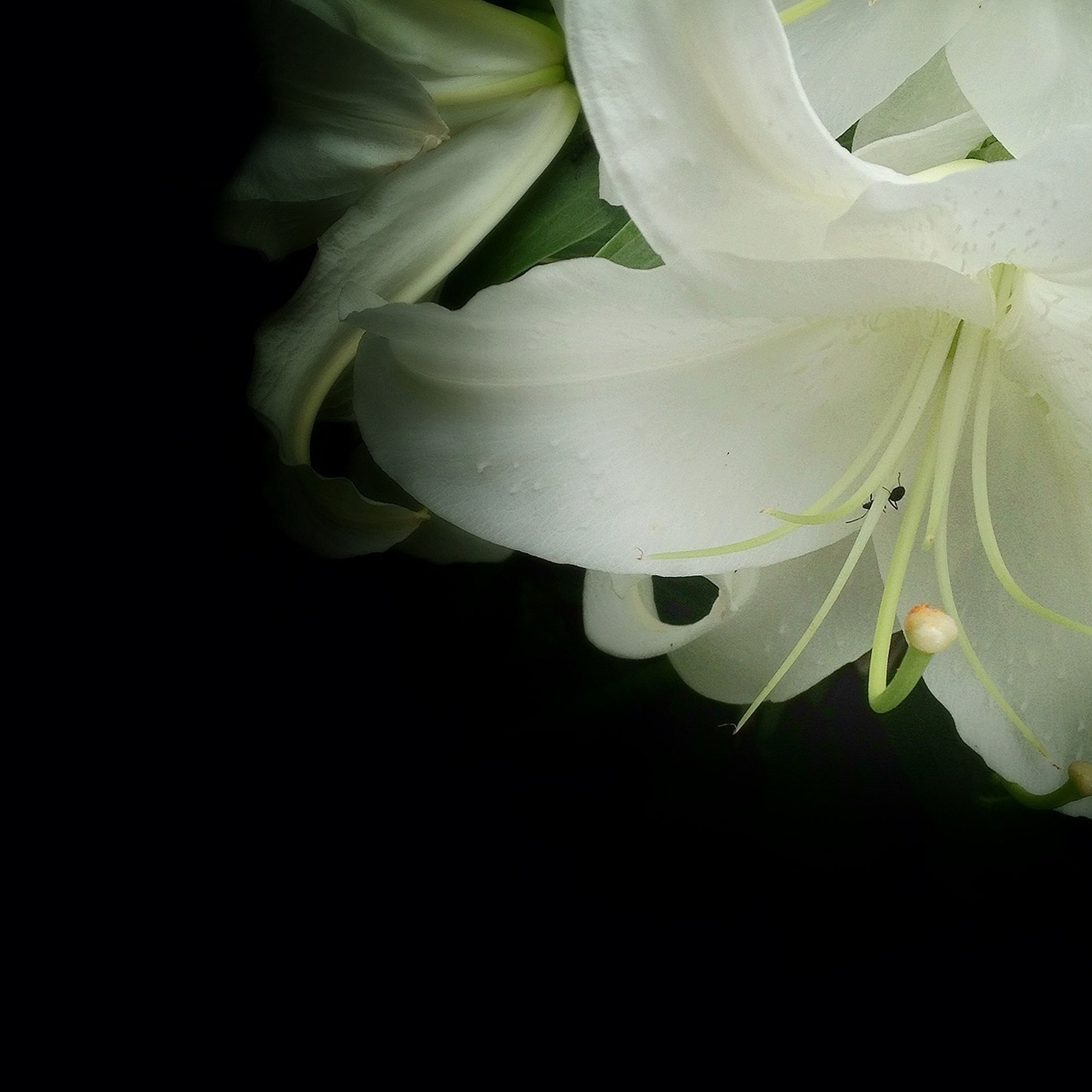 flower, black background, petal, studio shot, fragility, close-up, white color, freshness, growth, flower head, beauty in nature, plant, nature, leaf, copy space, white, no people, single flower, night, stem