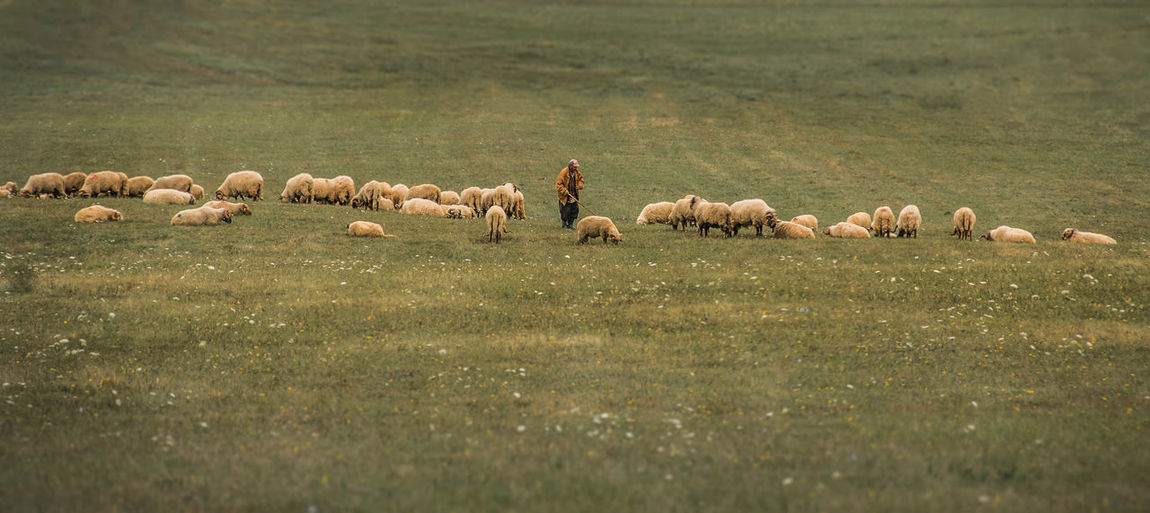 High Angle View Of Shepherd With Flock On Meadow