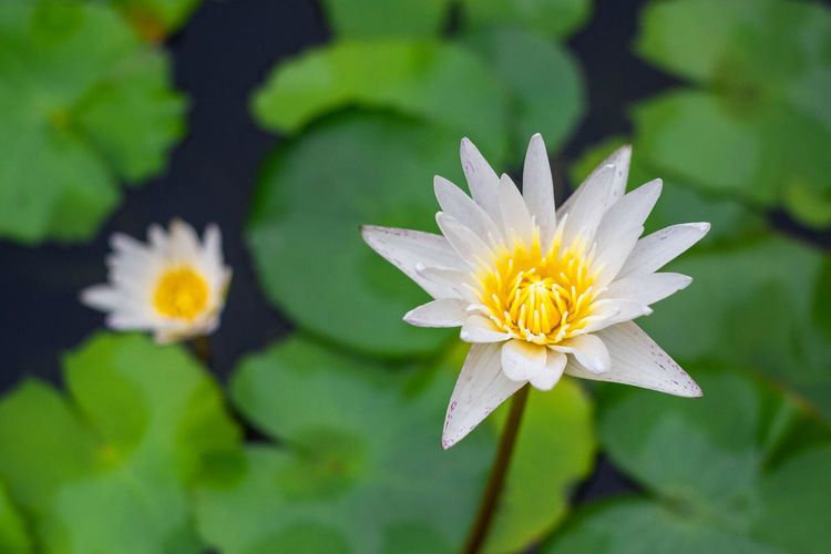 White lotus in my home. Flower Flowering Plant Close-up Lotus Water Lily Water Yellow Flower Head Beauty In Nature Outdoors White Color Lotus Water Lily Pollen Floating On Water Freshness Inflorescence Growth Leaf Nature Plant Part