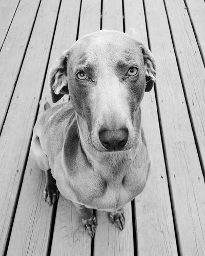 Weimaraner Dog Pet Sad Obedient Sitting Deck Black And White Looking At Camera