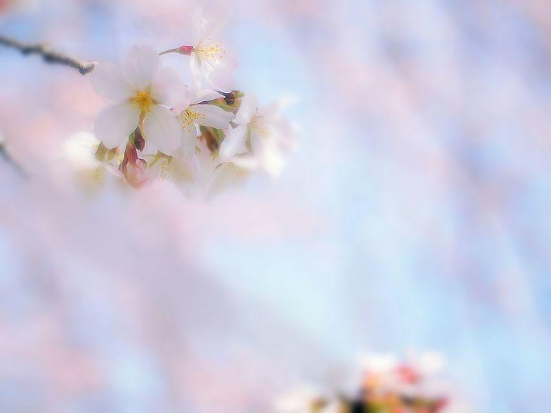 写真撮っている時はイヤな事忘れる事が出来る。ファインダーの中に自分の表現を探して世界中の人に見てもらいたいとか。そして、見せたい人の為にこの一枚。 Relaxing Taking Photos Enjoying Life Hello World Spring Colours Airy Airy Flowers Pink Bokeheffect Dreamfantasy Takumar Colors Spring Time Cherry Blossoms Sakura 桜 Blossom Japan Spring 春 EyeEm Nature Lover Bokeh