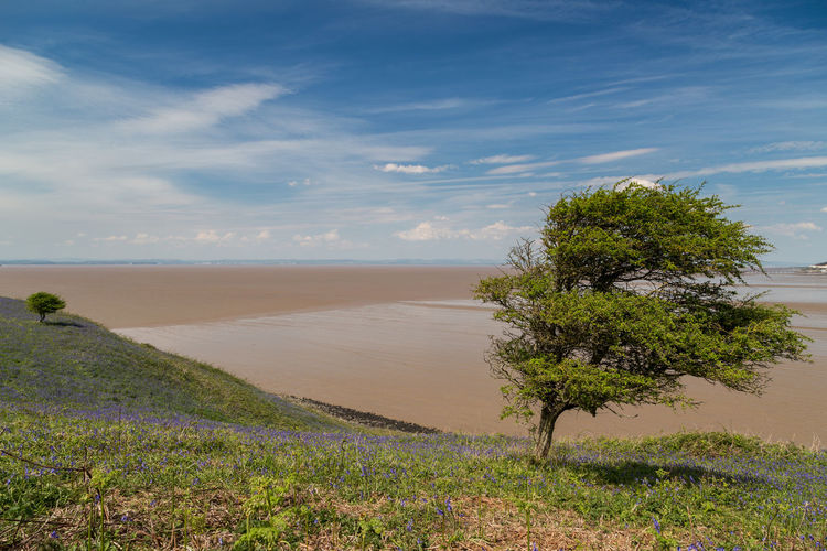 a single tree exposed on the somerset coastline in spring