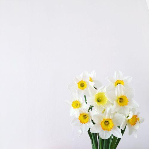 White Flower White Background Narcissus Flower Plant White Color