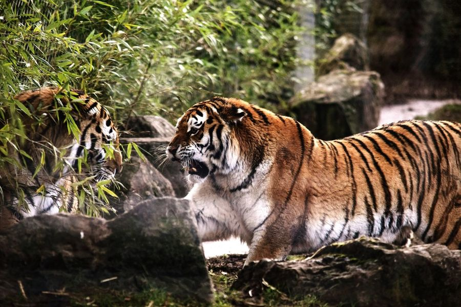 The most Beautiful Graceful yet Deadly Animals I've seen so close. They are definitely up there in my top 3 animals. Nature Tiger Animals In The Wild Christiannicelphotography Outdoors Powerful Graceful Deadly Power Eyeofthetiger Bigcats Bigcatphotography