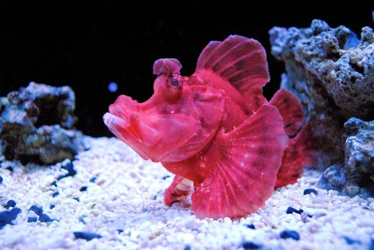 Grump Fuscia Color Saltwater Fish Saltwater Aquarium Bright Fish UnderSea Sea Life Underwater Sea Snow Close-up Coral Aquarium Tropical Fish Floating In Water Fish Tank