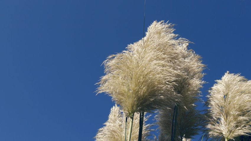 Shining pampas grass against blue sky Clear Sky Sky Blue Low Angle View No People Outdoors Close-up Eyem Gallery EyeEm Gallery High Section Nature Pamoas Grass Plant Blue Background Shining In The Sun