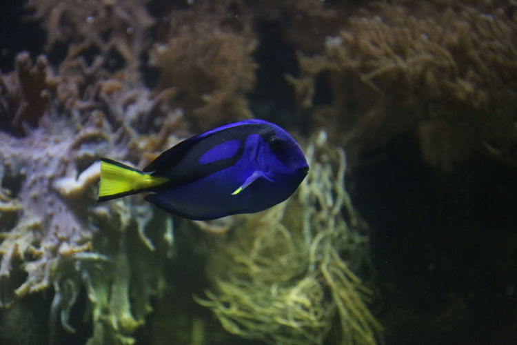 Paracanthurus Fish - Dori Animal Themes Animals In The Wild Aquarium Beauty In Nature Blue Close-up Day Dori Focus On Foreground Fragility Indoors  Nature No People One Animal Paletten-Doktorfisch Paracanthurus Paracanthurus Hepatus Sea Life Surgeonfish Swimming UnderSea Underwater Water