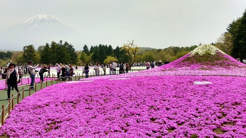 Millennial Pink Japan spring is not only defined by sakura pink....it's Shibazakura with a view on Fuji-san Pink Color Outdoors Celebration Flower Beauty In Nature Mori Japan Vivid Colours  Fuji