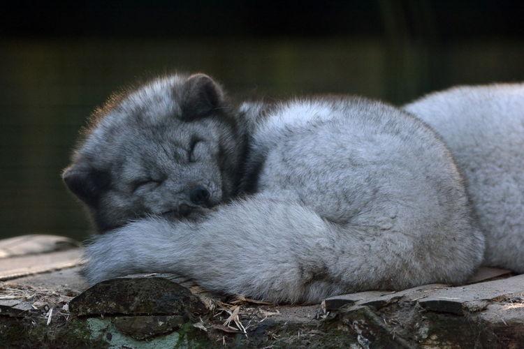 Close-up of arctic fox sleeping on wood