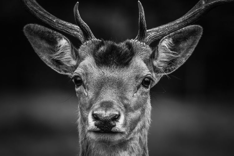 Animal Themes Animal Mammal One Animal Portrait Animal Wildlife Looking At Camera Deer Animals In The Wild Animal Body Part Animal Head  Close-up Antler Focus On Foreground No People Herbivorous Vertebrate Horned Domestic Animals Snout