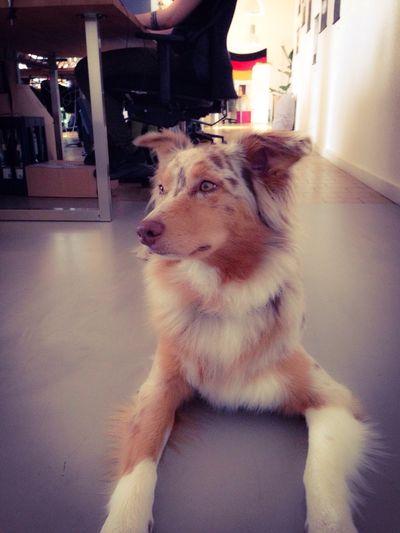 Office Dog Chillin Happy Enjoying Life