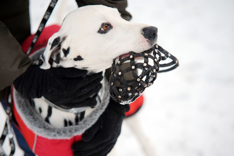 Woman arms in gloves keeping Dalmatian dog with muzzle in mouth in winter time. Dog training Animal Themes Arms In Gloves Cold Weater Dalmatian Dog Dog Dog Head Shot Dog Training Domestic Animals Human Body Part Muzzle One Animal Pets Winter