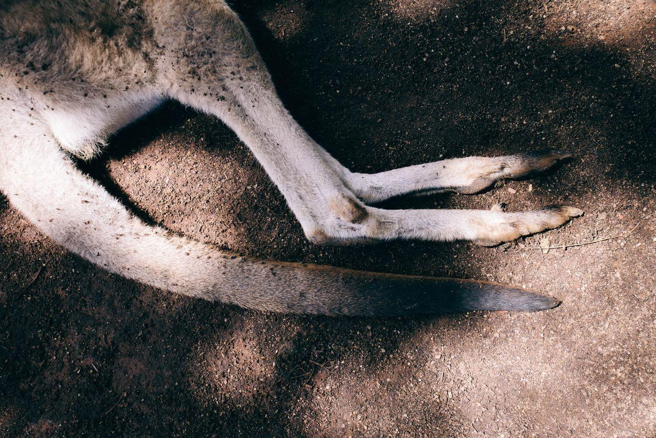 Low section of kangaroo at zoo