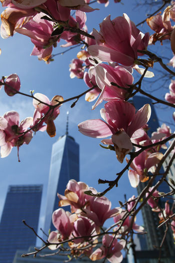 NEW YORK, NY, USA - April 21, 2018: The One World Trade Center or Freedom Tower, is the main building of the rebuilt World Trade Center complex in Lower Manhattan, New York City, USA. Architecture Magnolia_Blossom Manhattan Architecture Nature Tree Blooming Flower Blooming Trees In Early Spring Buildings Magmolia One World Observatory One World Trade Center Skyscraper Spring