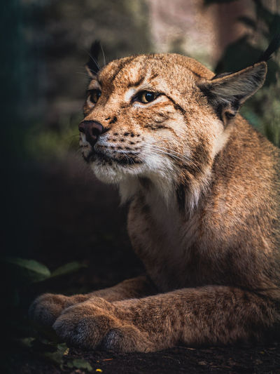 Close-up of big cat looking away while lying in forest