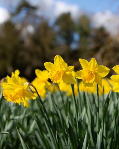 Daffodils in the local park, spring is on the way. Daffodil Daffodils Daffodils Flowers Daffodils In The Sun Flower Flowering Plant Yellow Plant Growth Beauty In Nature Freshness Petal Close-up Flower Head Focus On Foreground Springtime Spring Spring Flowers
