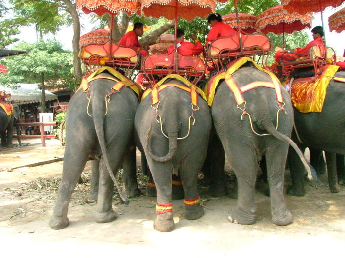 Animal Themes Day Elephant Elephant Houdas Elephants Rears Entertainment. Livestock Mammal Many Men Outdoors Standing Three Three Elephants Three Elephants Rear View Togetherness Toirism Tourist Tree Working Animal Working Elephants.