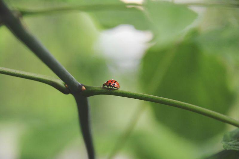 Insect Ladybug