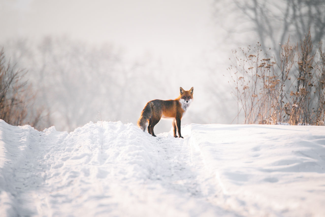 Fox On Snow Field Against Sky