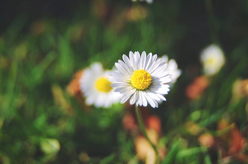 Chamomile flower Chamomile Flower Flowering Plant Freshness Plant Fragility Vulnerability  Beauty In Nature Petal Growth Flower Head Inflorescence Close-up Yellow Focus On Foreground Nature Daisy No People Pollen