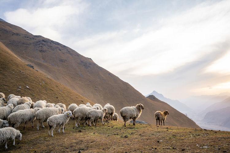 Flock of sheep on landscape