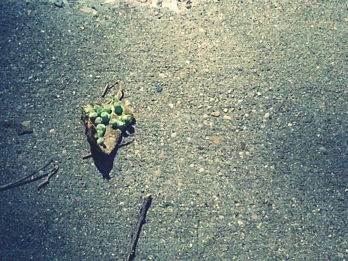 ickey leaf.