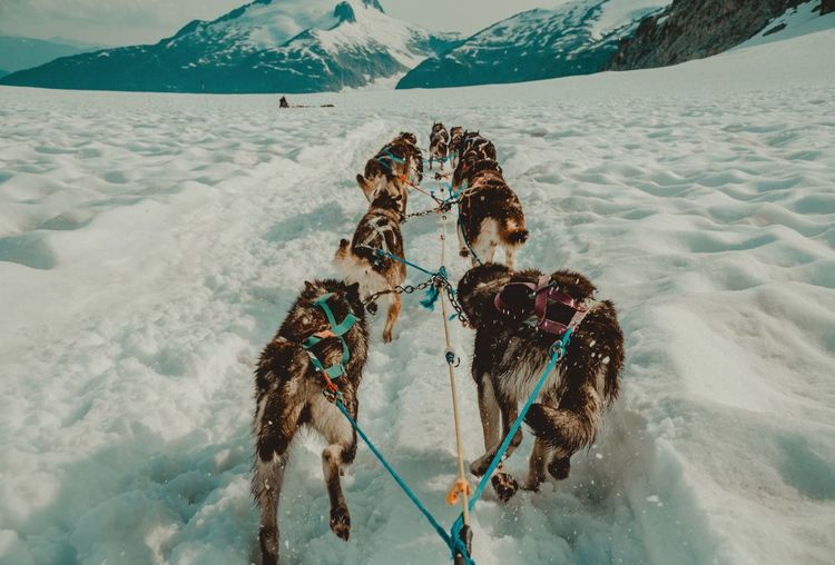 Dog sledding Dog Sleeping  Snow Winter Cold Temperature Mountain Environment Nature Day Scenics - Nature Animal Themes Animal Land Group Of Animals Domestic Animals