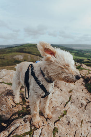 White dog standing in strong wind on top of the crook peak in mendip hills, somerset, uk.