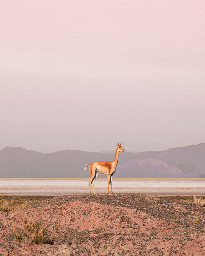 Vicuña Argentina Week On Eyeem Landscape_Collection Travel Destinations One Animal Animal Animal Themes Sand Desert Animal Wildlife Outdoors Animals In The Wild Nature Sand Dune