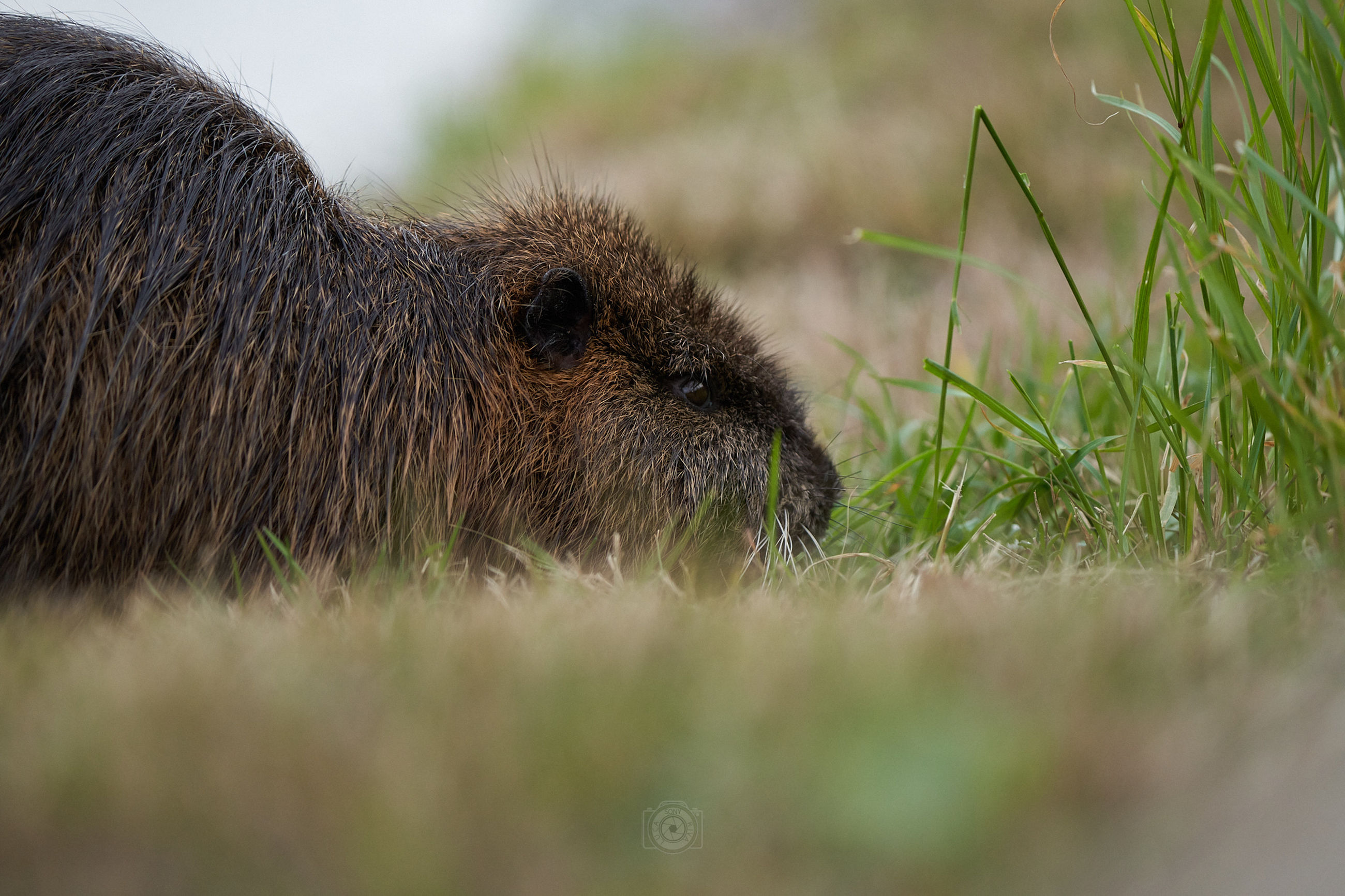 animal, animal themes, animal wildlife, mammal, one animal, grass, wildlife, plant, no people, whiskers, nature, rodent, selective focus, outdoors, day, side view, animal body part, pet