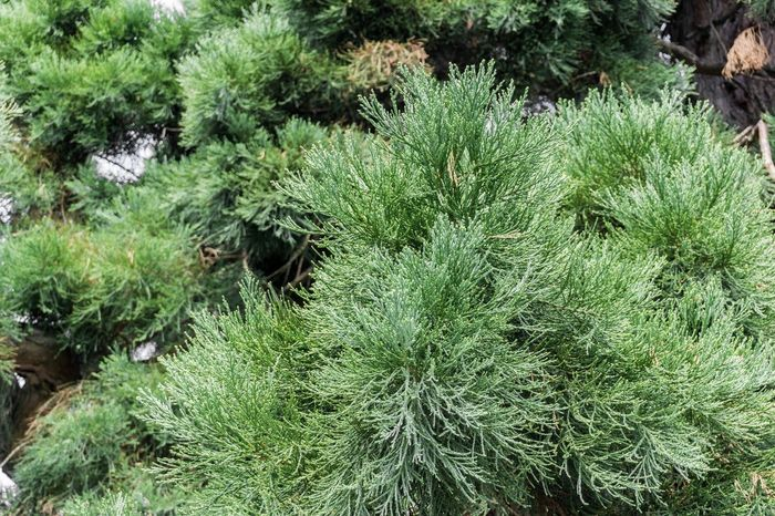 Green Needles of a Tree Fir Tree Pine Tree Blooming Background Close-up Landscape Freshness Needles Growing Growth Spring Plants Tranquility Trees Trees And Sky Green Color Chlorophyll Nature Outdoor No People Perspective