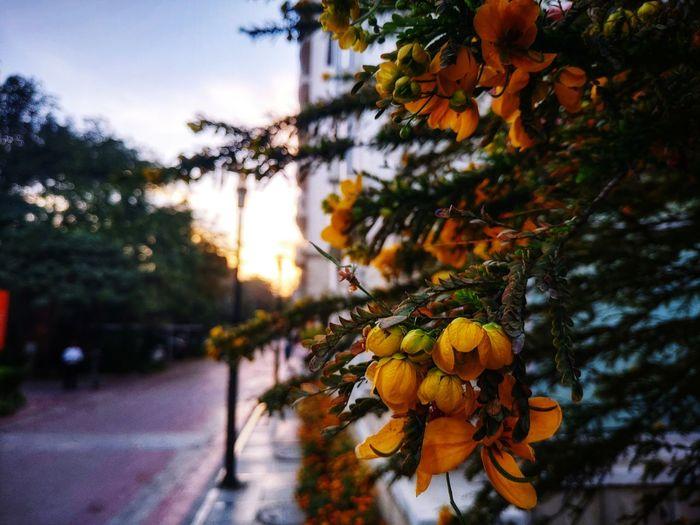 Close-up of orange flowering tree against sky during sunset