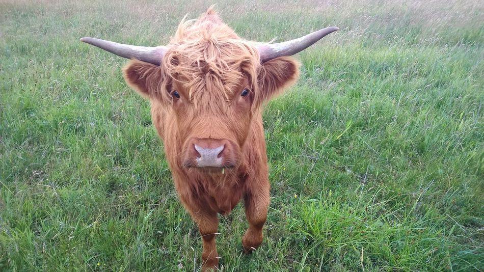 Волосатая корова Highland Cow Highland Cows HighlandCows Hairy Cow Hairy Coo Cow Cows Cow On Field Cows🐮 Cow Hairy Cow Hair
