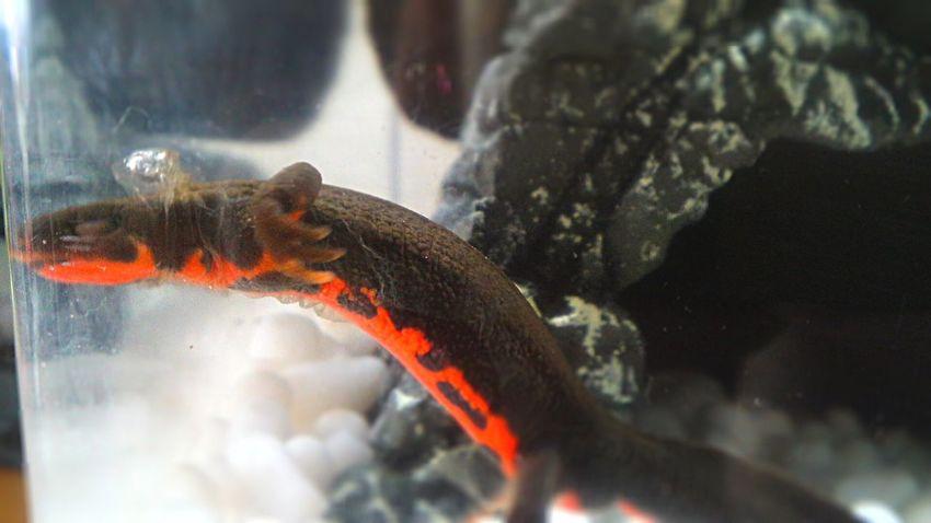 Shedding Skin Newt アカハライモリ Japanese Fire Belly Newt 両生類 Amphibian