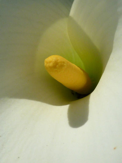 Close-up Day Flower Food Food And Drink Freshness Fruit Green Color Growth Healthy Eating High Angle View Indoors  Inside Lilly No People Organic Selective Focus Single Object SLICE Stamen Still Life Table Vegetable White Yellow