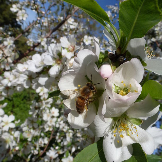 Almond Tree Blossom 5 Petal Leaves Almond Tree Almond Tree Blossom Beauty In Nature Bee Bee Collecting Pollen Bees Blooming Blossom Blue Sky Day Flower Growth Nature Nature No People Pollination Spring Tree White And Blue White Blossom White Blossom Blue Sky White Blossoms On Tree White Flowers